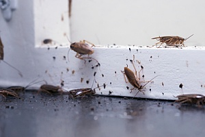 Pests entering into home by window